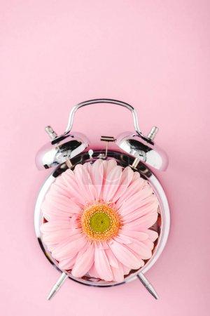Photo pour Vue supérieure du réveil de cru avec la fleur de gerbera d'isolement sur le rose - image libre de droit