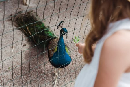 cropped view of kid standing near peacock in cage