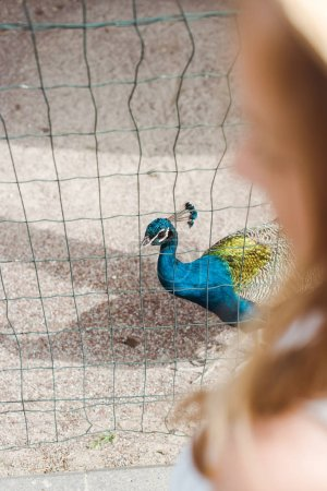 cropped view of child standing near peacock in cage