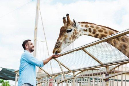 cheerful bearded man smiling while feeding giraffe in zoo