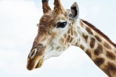 wild giraffe with long neck against blue sky with clouds