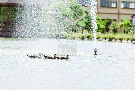 Photo pour Gouttes près de la fontaine tombant tandis que les cygnes noirs nageant dans l'étang - image libre de droit