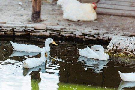 Photo pour Foyer sélectif des cygnes blancs nageant dans l'étang dans le zoo - image libre de droit