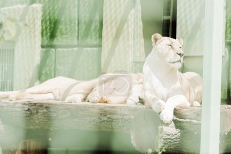 selective focus of dangerous lions lying in cage