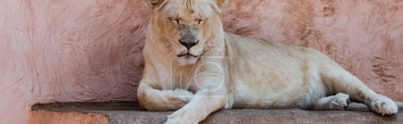panoramic shot of lion with closed eyes lying in zoo