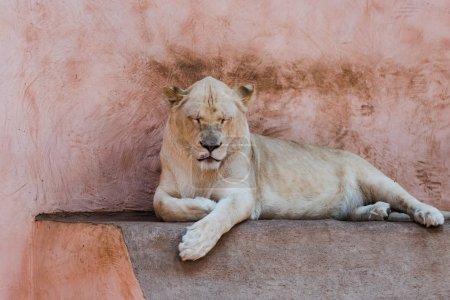Photo pour Lion sauvage avec les yeux fermés se trouvant dans le zoo - image libre de droit