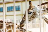 """Постер, картина, фотообои """"селективный фокус жирафов, стоящих в клетке возле здания в зоопарке"""""""