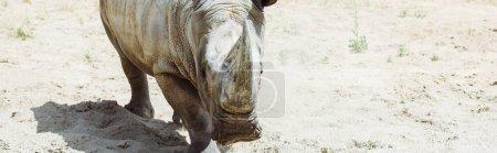 panoramic shot of rhinoceros walking in zoo in summertime