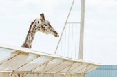 giraffe with long neck standing near cage in zoo