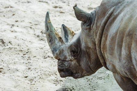 selective focus of wild rhinoceros in zoo in summertime