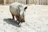 """Постер, картина, фотообои """"дикий носорог ходить в зоопарке в летнее время"""""""