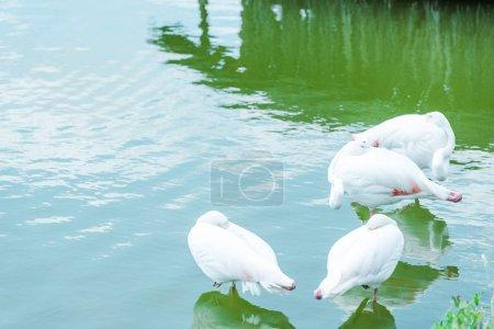 Photo pour Hérons avec des plumes blanches restant dans l'étang dans le zoo - image libre de droit