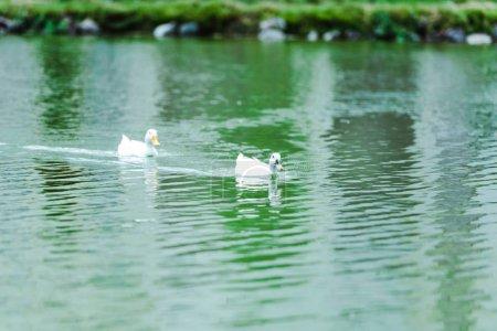 Photo pour Foyer sélectif des canards sauvages blancs nageant dans le lac - image libre de droit