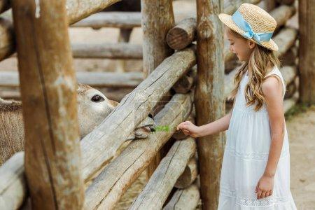 Photo pour Enfant heureux en chapeau de paille nourrir taureau avec des feuilles vertes près de la clôture dans le zoo - image libre de droit