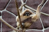 selective focus of monkey sitting in ropes with knots in zoo