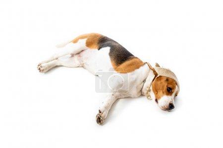 Foto de Vista aérea del perro beagle lindo en sombrero acostado en blanco - Imagen libre de derechos