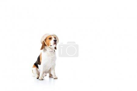 Foto de Lindo perro beagle en sombrero explorador sentado en blanco - Imagen libre de derechos