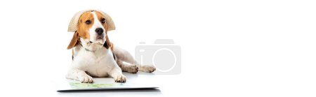 panoramic shot of beagle dog in hat lying near map on white