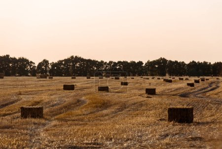 green trees near wheat field with hay in evening