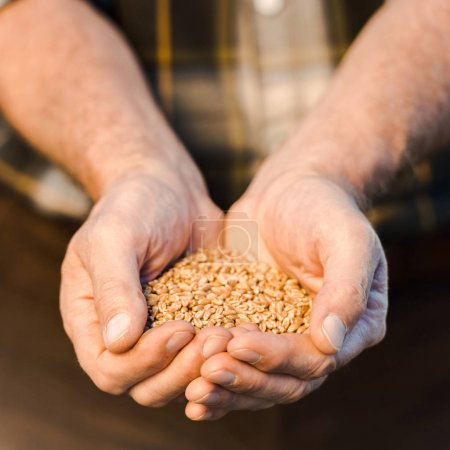 Photo for Selective focus of farmer holding seeds in hands - Royalty Free Image