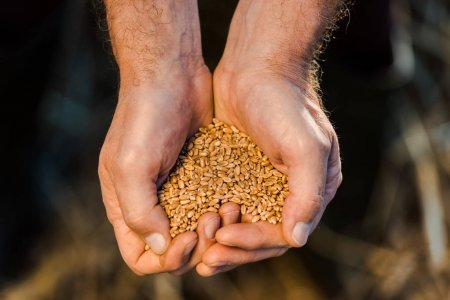 Photo for Cropped view of farmer holding seeds in hands - Royalty Free Image