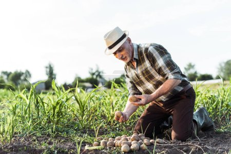 Photo for Happy self-employed farmer holding potatoes near corn field - Royalty Free Image