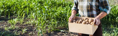 Photo for Panoramic shot of self-employed farmer holding wooden box with potatoes near corn field - Royalty Free Image