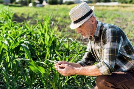 beau agriculteur indépendant en chapeau de paille assis près du champ de maïs vert