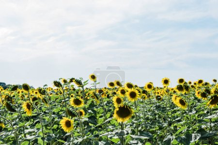 field with yellow sunflowers against blue sky with clouds