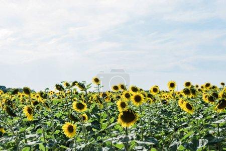 Photo pour Champ avec tournesols jaunes contre ciel bleu avec nuages - image libre de droit