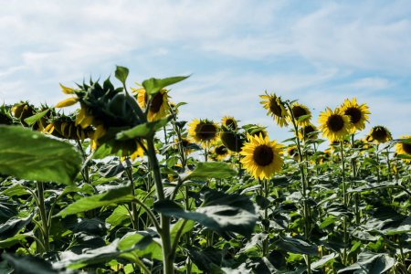 selective focus of field with sunflowers against blue sky