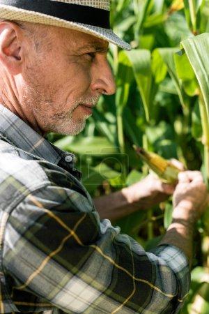 Foto de Enfoque selectivo de agricultor tocando maíz cerca de hojas verdes - Imagen libre de derechos