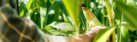 Panoramaaufnahme eines Bauern, der Mais in der Nähe von grünen Blättern berührt