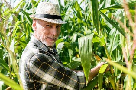 foyer sélectif de fermier heureux touchant le maïs près des feuilles vertes