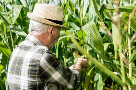 Photo for Self-employed farmer in straw hat touching fresh leaves in corn field - Royalty Free Image