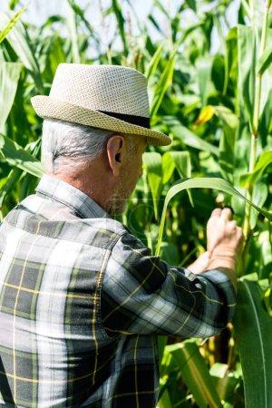 senior farmer in straw hat touching fresh leaves in corn field