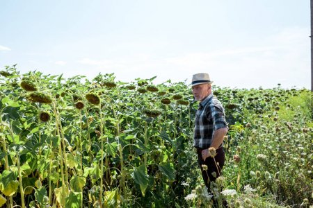 farmer in straw hat standing near blooming sunflowers
