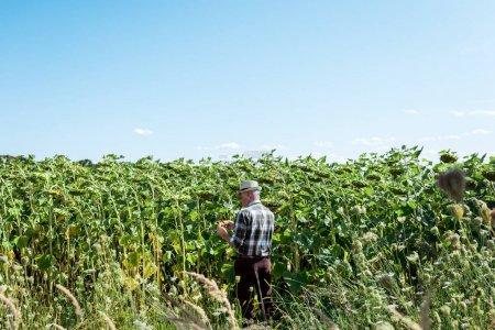 self-employed farmer in straw hat standing near sunflowers in field