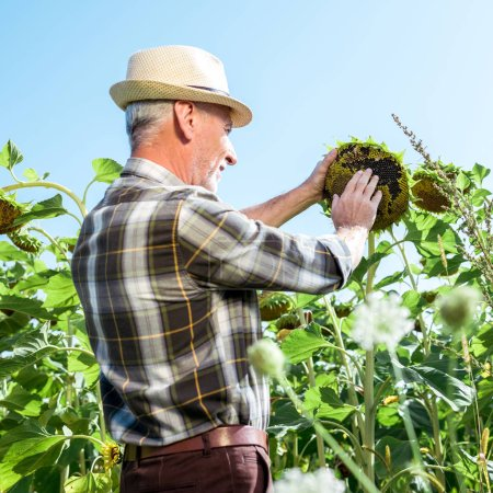selective focus of farmer in straw hat touching blooming sunflower