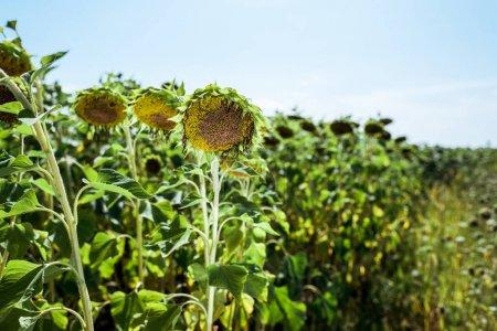 Photo pour Foyer sélectif du champ avec des tournesols en fleurs contre le ciel bleu - image libre de droit