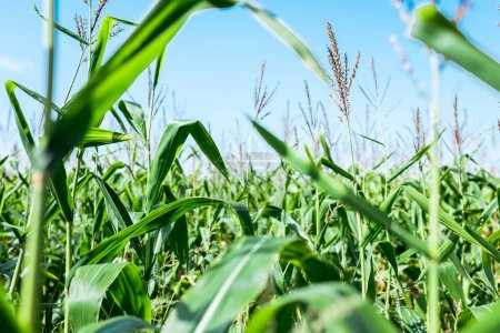 Photo for Selective focus of corn field with green leaves against blue sky - Royalty Free Image