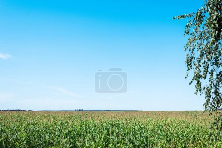 Photo for Corn field with green fresh leaves against blue sky - Royalty Free Image