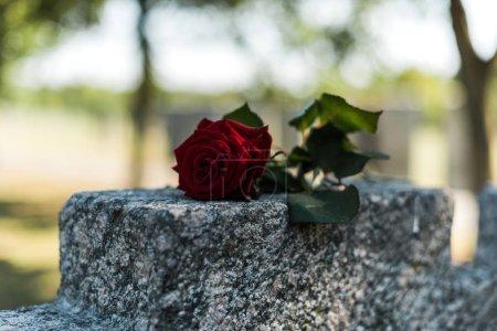 Photo pour Foyer sélectif de rose rouge sur la tombe dans le cimetière - image libre de droit