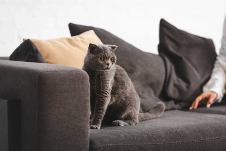 Photo for Scottish Fold cat sitting on sofa near woman - Royalty Free Image