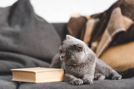 cute gray scottish fold cat on sofa with book