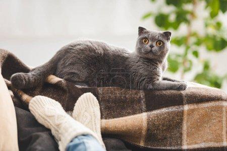 Photo pour Mignon chat scottish plié couché sur une couverture près de la femme sur un canapé - image libre de droit
