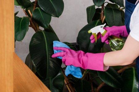 Foto de Vista recortada del limpiador en guantes de goma hojas de la planta de limpieza con detergente y trapo - Imagen libre de derechos
