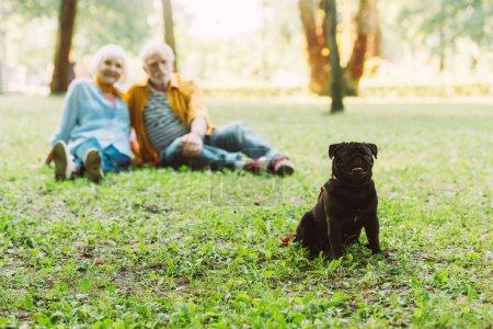 Photo pour Foyer sélectif de chiot chiot assis sur l'herbe avec couple âgé à l'arrière-plan dans le parc - image libre de droit