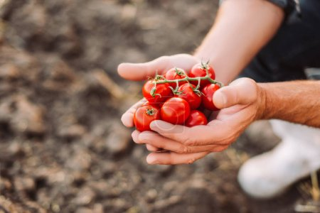 Foto de Vista recortada del agricultor sosteniendo rama de tomates rojos cherry en las manos ahuecadas - Imagen libre de derechos