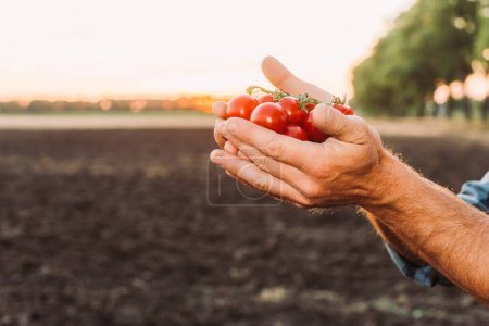 partial view of rancher holding ripe, fresh cherry tomatoes in cupped hands